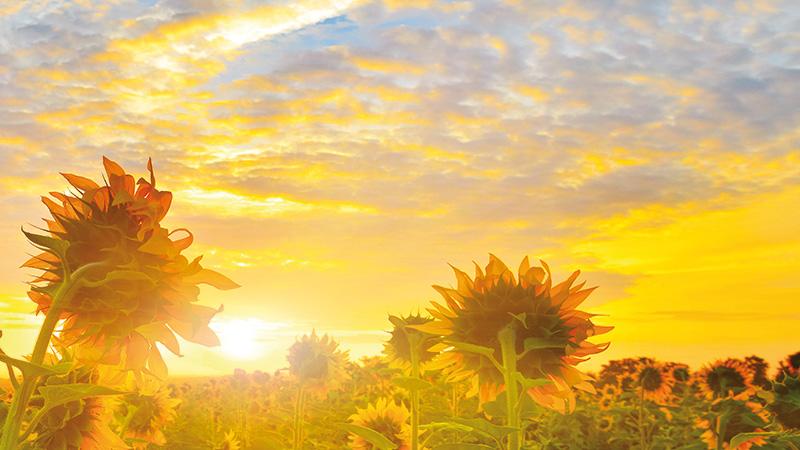 Sonnenblumen © Denis 333 / Fotolia
